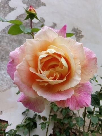 rose orange rose